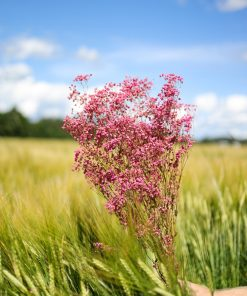 Preserved Gypsophila Paniculata - Dusty Pink