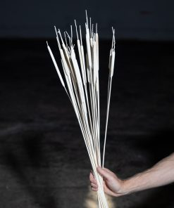 Typha - Bleached White